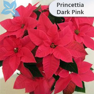 Princettia Dark Pink 002