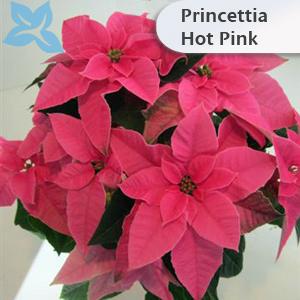 Princettia Hot Pink 002
