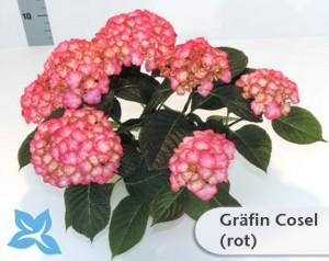 Graefin-Cosel
